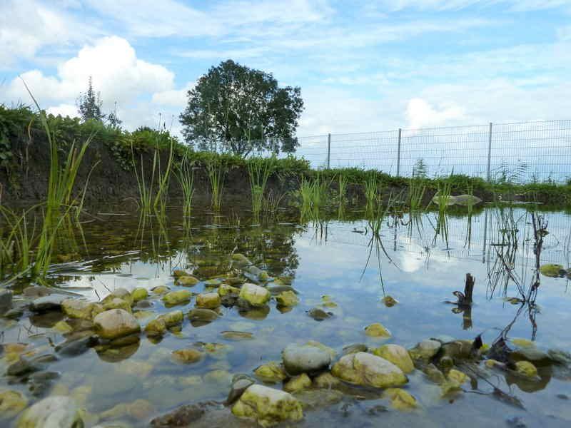 frisch bepflanzte Sumpfzone im September