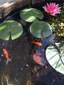 Schleierschwanz im miniteich miniteich ratgeber for Miniteich goldfische
