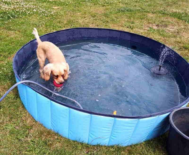 Hund im Plantschbecken, mit Springbrunnen